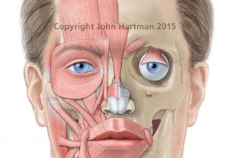 medical illustration, male anatomy pictures, botox injection sites