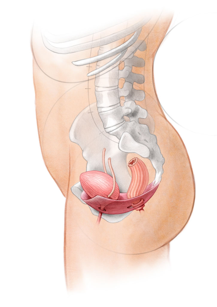 Human Anatomy Pelvic Floor Muscles John Hartman Illustration