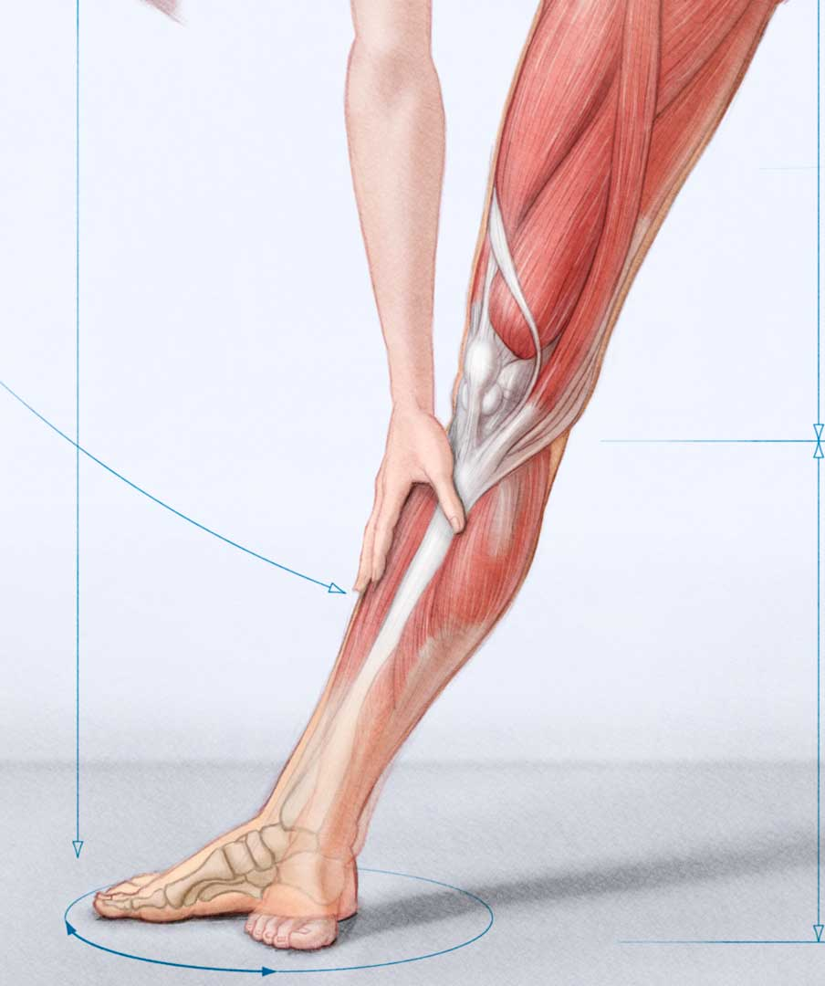 Anatomy Of Leg John Hartman Illustration